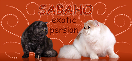Sabaho cattery - Persian and Exotic
